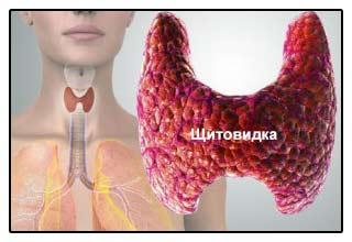 Схема размещения щитовидной железы - фото