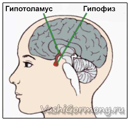 Схема расположения гипоталамуса и гипофиза